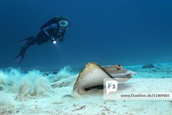 Taucher beobachtet Federschwanz Stechrochen (Pastinachus sephen)  startet vom Sandgrund  Lhaviyani Atoll  Malediven  Asien