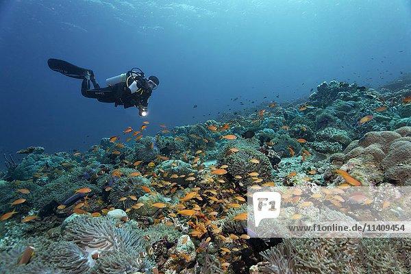 Taucher schwimmt über Korallenriff mit Prachtanemonen (Heteractis magnifica)  gelbe Fahnenbarsche (Anthiidae)  Lhaviyani Atoll  Malediven  Asien