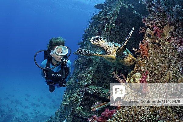 Taucher beobachtet Unechte Karettschildkröte (Caretta caretta) am Schiffswrack Giannis D  am Shab Abu Nuhas Korallenriff  Rotes Meer  Ägypten  Afrika