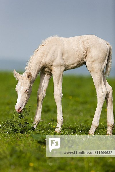 Cremello Morgan horse foal eating grass  Tyrol  Austria  Europe
