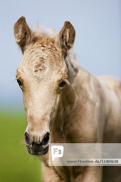Palomino Morgan horse foal  green meadow  Tyrol  Austria  Europe