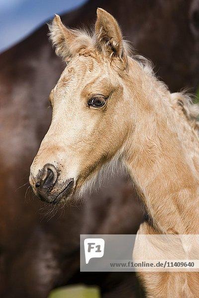 Palomino Morgan horse foal  Tyrol  Austria  Europe
