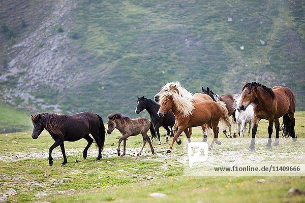Isländer  Noriker  Pony  Haflinger  Herde gemischt auf der Alm  Kühtai  Tirol  Österreich  Europa