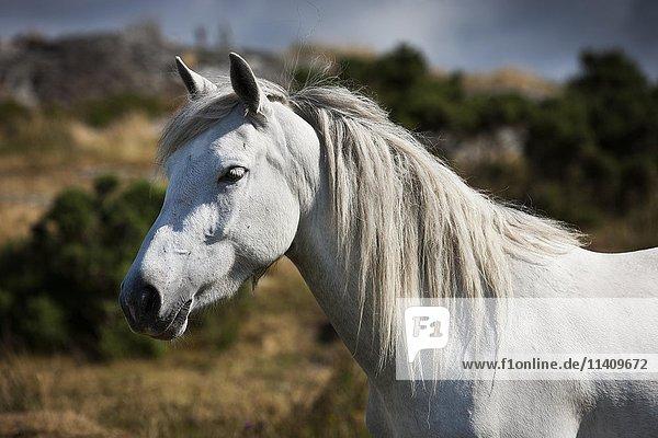 Connemara pony Hengst  Portrait  Schimmel  Connemara  Galway  Irland  Europa
