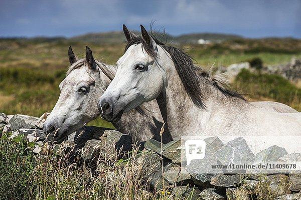 Connemara ponies schauen über Steinmauer  Portrait  Schimmel  Connemara  Galway  Irland  Europa