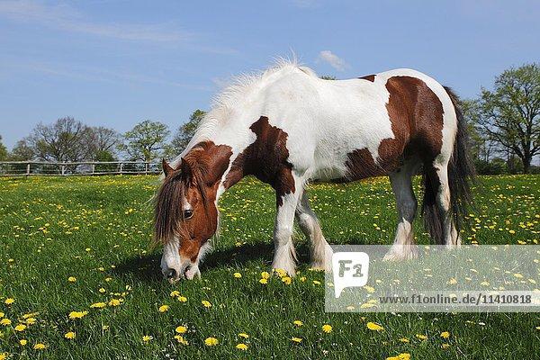 Pferderasse Tinker-Pferd  Irish Tinker Pony (Equus przewalskii f. caballus)  frißt auf Blumenwiese  Schleswig-Holstein  Deutschland  Europa