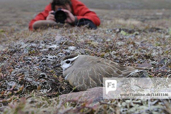 Naturfotograf fotografiert Mornellregenpfeifer (Eudromias morinellus)  Männchen brütet auf dem Nest  Varanger-Halbinsel  Norwegen  Europa