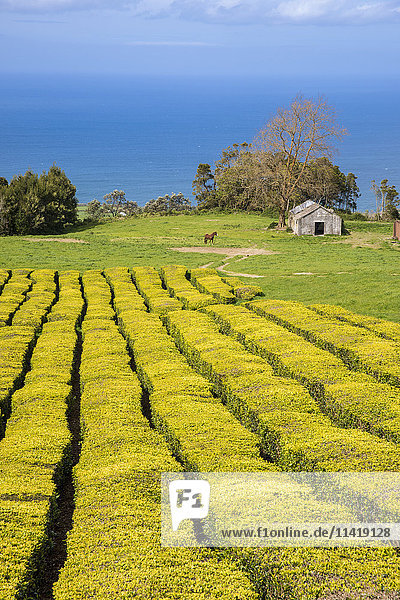 'Gorreana Tea Plantation  Azores is the only place in Europe where tea is growing; Sao Miguel  Azores  Portugal'