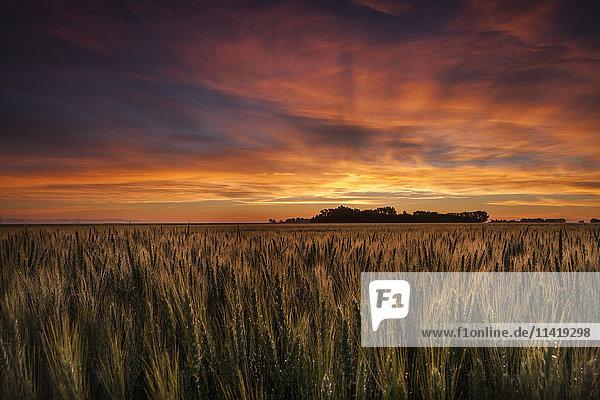 'Colourful sky at sunrise over a wheat field; Saskatchewan  Canada'