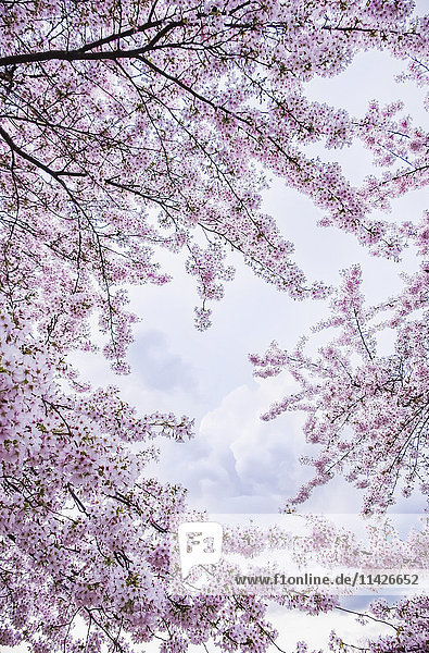 'Cherry blossoms in Hampstead; London  England'
