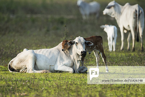 'Khillari calf resting it's head on mother; Mato Grosso do Sul  Brazil'