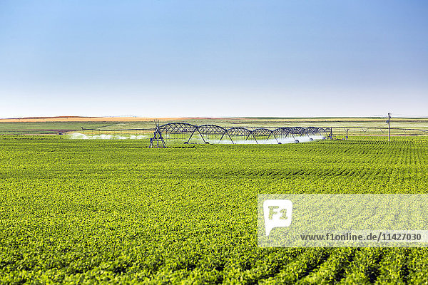 'Rows of potato plants with large irrigation watering in the background  North of Taber; Alberta  Canada'