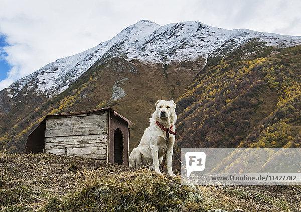 'Georgian Shepherd dog by his dog house; Ushguli  Samegrelo-Zemo Svaneti  Georgia'
