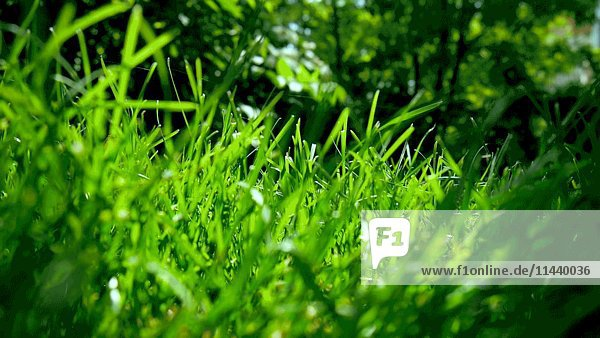 Green Grass with Tree Leaves Blowing in Wind in Background