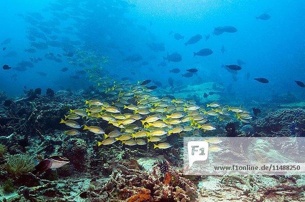 School of Blueline or Kasmira snappers Lutjanus kasmira over coral reef Moto Mount  Indonesia