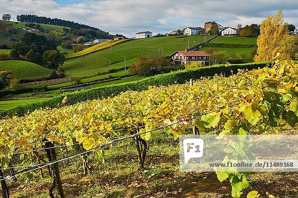 Agriculture and vineyards of Txakoli  Autumn  Askizu Auzoa  Getaria  Gipuzkoa  Basque Country  Spain  Europe