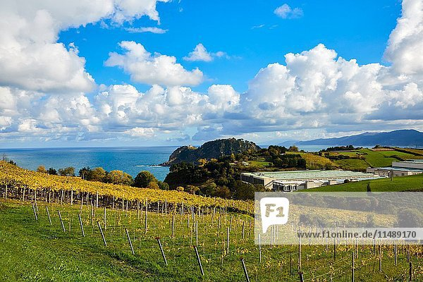 Agriculture and vineyards of Txakoli  Autumn  Askizu Auzoa  Getaria  Gipuzkoa  Basque Country  Spain  Europe