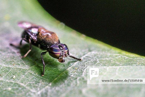 Fly. Image taken at Kampung Skudup  Sarawak  Malaysia.