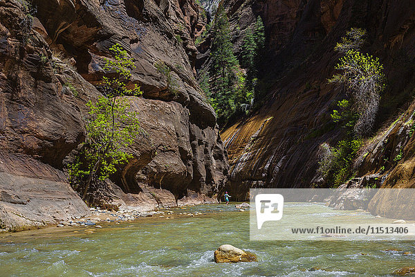 Walking in the Virgin Narrows in Zion National Park  Utah  United States of America  North America