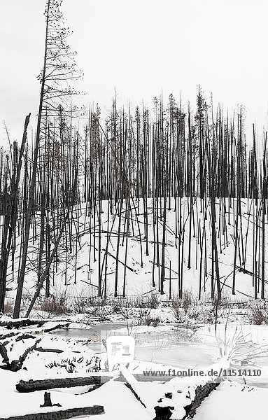 Bare burnt trees on snow covered hill in Sawtooth National Forest  Idaho