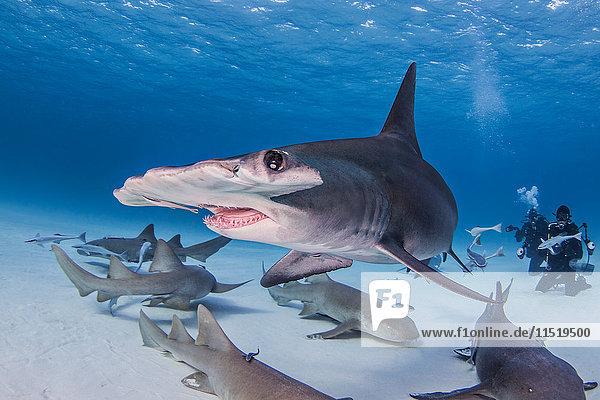 Grosser Hammerhai mit Ammenhaien  Unterwasseransicht