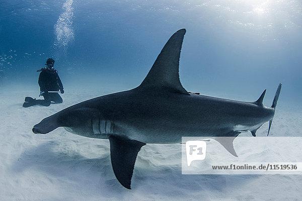 Diver beside Great Hammerhead shark  underwater view
