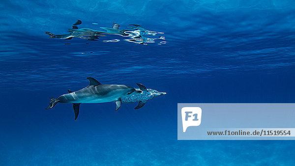 Atlantische Fleckendelphine  Unterwasser-Ansicht