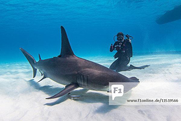 Taucher neben dem Grossen Hammerhai  Unterwasseransicht
