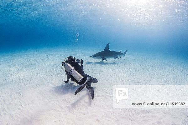Taucher beim Schwimmen mit dem Grossen Hammerhai  Unterwasseransicht