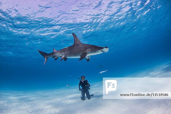Diver watching Great Hammerhead shark  underwater view