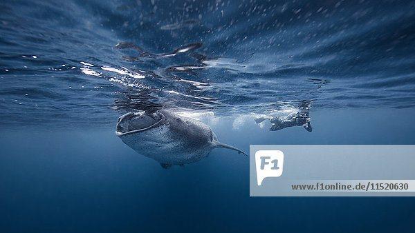 Taucher beim Schwimmen mit Walhai  Unterwassersicht  Cancun  Mexiko
