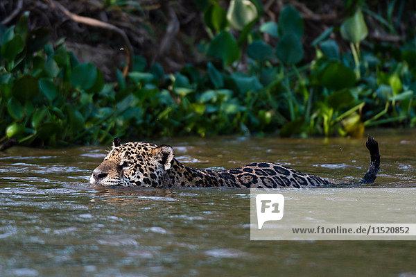 Jaguar (Panthera onca) swimming in Cuiaba river  Pantanal  Mato Grosso  Brazil