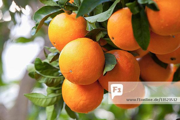 Nahaufnahme von Orangen am Orangenbaum  Mallorca  Spanien Nahaufnahme von Orangen am Orangenbaum, Mallorca, Spanien