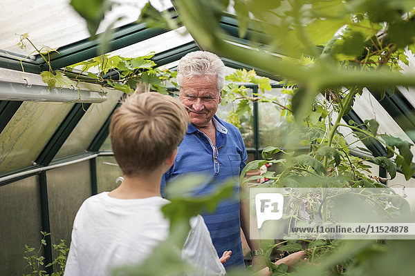 Grandfather with grandson in greenhouse