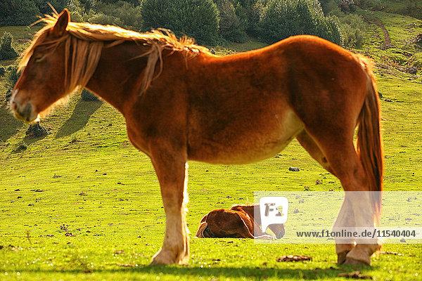 Spanien  Asturien  zwei Pferde im Naturpark Redes