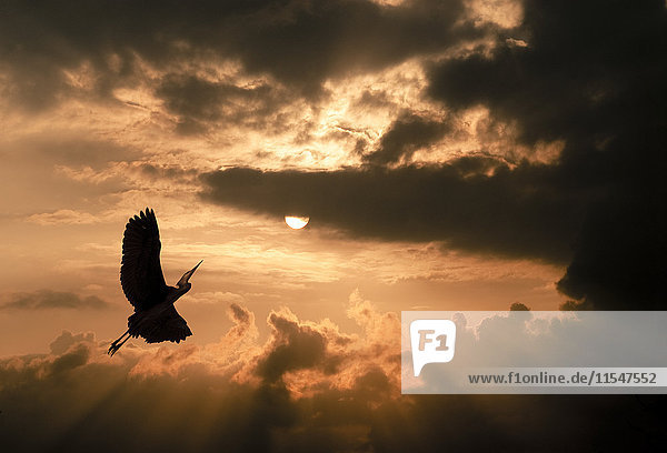 Kranich bei Sonnenuntergang  dramatische Wolkenatmosphäre