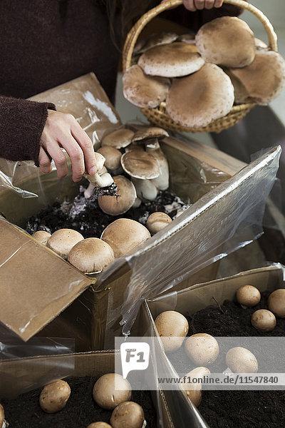 Frau sammelt Krimini-Pilze  die in Kisten gezüchtet werden