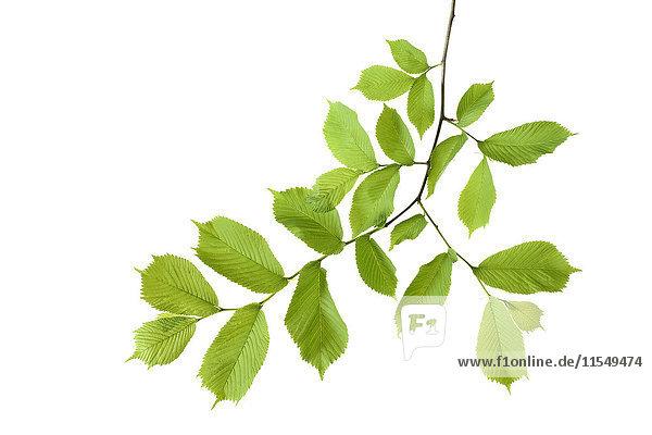 Ulme  Ulmus minor  Ulmaceae  Blätter vor weißem Hintergrund