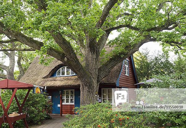 Deutschland  Fischland-Darss-Zingst  alte Eiche und Darss Museum