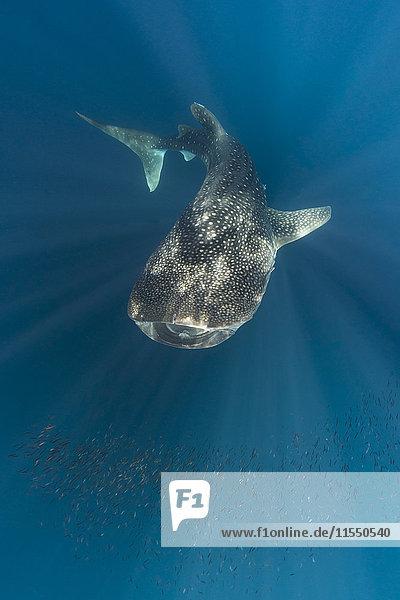 Indonesien  Papua  Cenderawasih-Bucht  Walhai