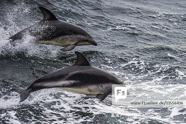 Dusky dolphin (Lagenorhynchus obscurus) jumping  Beagle Channel  Tierra del Fuego  Argentina  South America