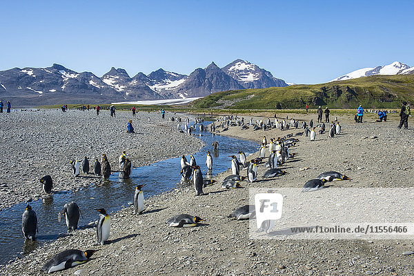 Giant king penguin (Aptenodytes patagonicus) colony  Salisbury Plain  South Georgia  Antarctica  Polar Regions