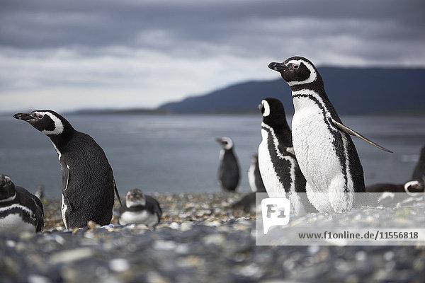 A magellanic penguin on Martillo Island  Tierra del Fuego  Argentina  South America