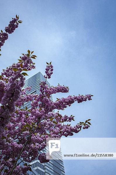 Deutschland  Köln  Blick auf den Kölner Turm im Media Park mit Kirschblüten im Vordergrund