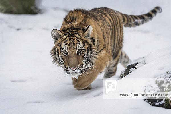Junger sibirischer Tiger im Schnee unterwegs