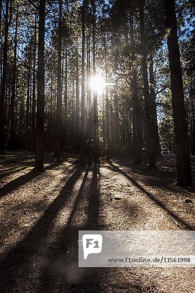Spanien  Teneriffa  Wald im Gegenlicht Spanien, Teneriffa, Wald im Gegenlicht
