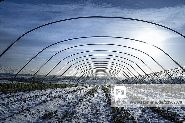 Schneebedeckte Erdbeerfelder