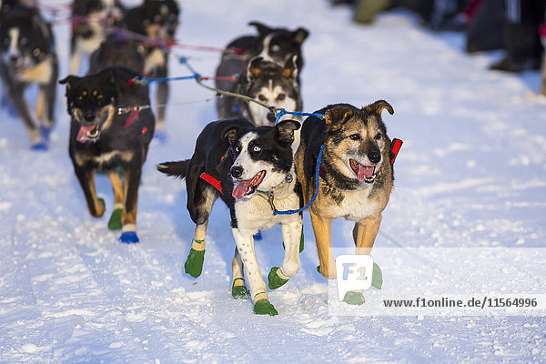 A team of dogs starts in the 2016 Yukon Quest on the Chena River in Fairbanks.