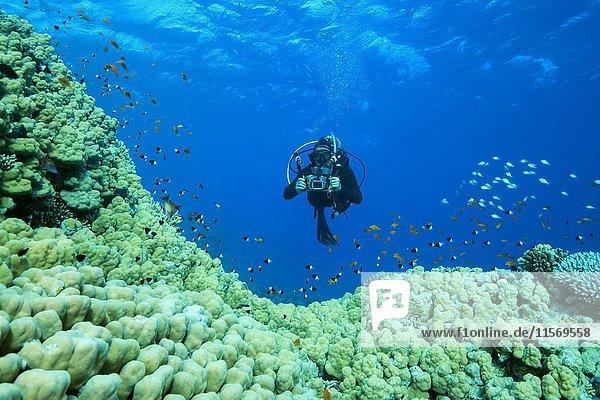 Taucher mit Kamera schwimmt über große Porenkorallen (Porites nodifera),  Rotes Meer,  Sharm el Sheikh,  Sinai-Halbinsel,  Ägypten,  Afrika