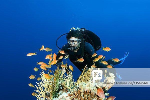 Taucher schwimmt über Korallenriff und betrachtet einen Schwarm Juwelen-Fahnenbarsche (Pseudanthias squamipinnis),  Rotes Meer,  Ägypten,  Afrika